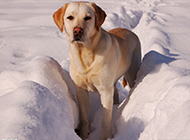 雪地中的拉布拉多犬高清图片