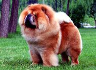 肉嘟嘟的狗松狮犬可爱图片
