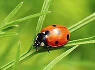 害虫的天敌七星瓢虫图片