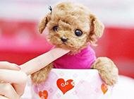 体型小巧可爱的茶杯犬图片大全