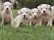 一群杜高犬幼犬图片