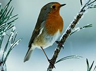 农林益鸟知更鸟的图片