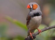 金山珍珠鸟模样精巧可爱图片