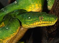 颜色独特的大翡翠蟒蛇图片