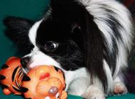 黑色蝴蝶犬咬玩具图片