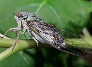 夏天树上的昆虫知了图片