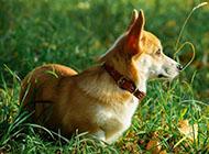 威尔士柯基犬绝美侧影图片