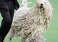 可蒙犬赛场欢乐奔跑图片
