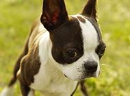 活泼萌宠波士顿梗犬高清图片