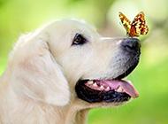 半岁的拉布拉多犬唯美写真图片