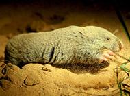 中华鼢鼠挖洞穴图片