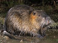 广西海狸鼠河岸戏水图片