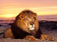 霸气狮子野生动物图片壁纸