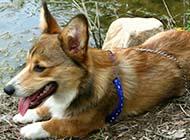 威尔士柯基犬慵懒歇息图片
