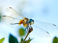 夏日野外蜻蜓抓拍图片大全