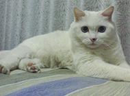 白色中华田园猫图片欣赏