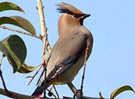 树枝上的大太平鸟图片