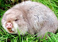 吃竹的萌货竹鼠图片