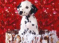 狗狗图片可爱大麦町犬甜美写真