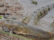巨蟒河中捕食大鲶鱼 身体太滑无从下口