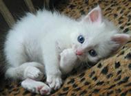 萌蓝眼白猫幼崽图片欣赏