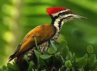野生啄木鸟图片侧面特写