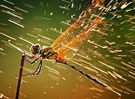 红蜻蜓图片特写桌面壁纸