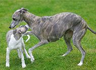 惠比特犬草地欢乐玩耍图片