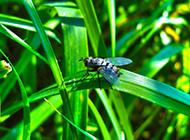 杂食性昆虫苍蝇图片