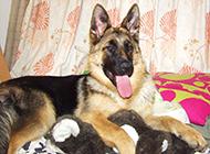 黑脸德国牧羊犬搞怪图片欣赏