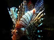 美丽奇特的狮子鱼高清组图