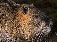 最大的海狸鼠头部特写图片
