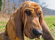 比利时寻血猎犬搞怪表情特写图片