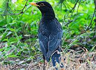 高价野生八哥鸟图片欣赏