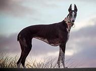 身材完美的纯种灵缇犬图片