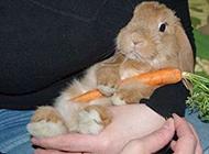 可爱的兔子抱胡萝卜内涵图