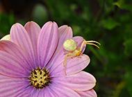 节肢昆虫植物蜘蛛特写摄影图片
