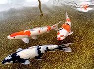 红白锦鲤水池畅游嬉戏图片