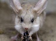 长耳跳鼠吃东西图片