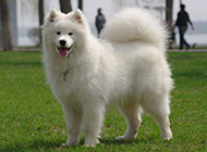 萨摩耶犬幼犬顽皮吐舌图片