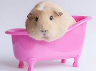 习性温顺的宠物豚鼠图片