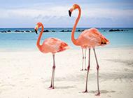 火烈鸟长腿鸟类精美个性写真
