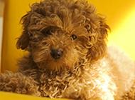 小巧呆萌的棕色玩具贵宾犬图片