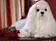 迷你马尔济斯犬时尚造型写真图片