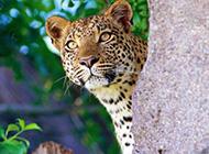 精选凶猛的花豹高清图片