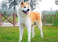 最漂亮的狗狗日本秋田犬图片