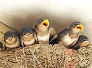 刚出生的鸟类动物雏燕图片
