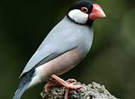 气质高贵可爱的爪哇禾雀鸟卖萌照