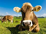 憨厚肯干的大黄牛野外高清摄影图片