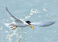海鸥翱翔图片自由自在